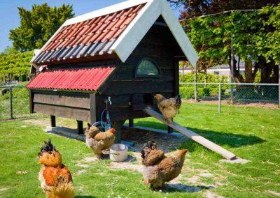 kinderboerderij-camping-de-uitwijk-kippen