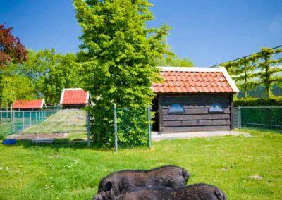 kinderboerderij-camping-de-uitwijk-hangbuikzwijn